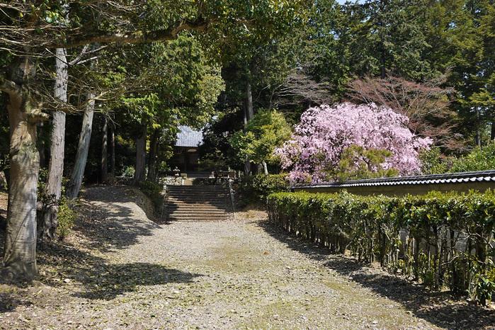 山科 安祥寺の桜