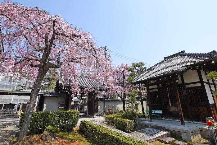 成願寺の桜