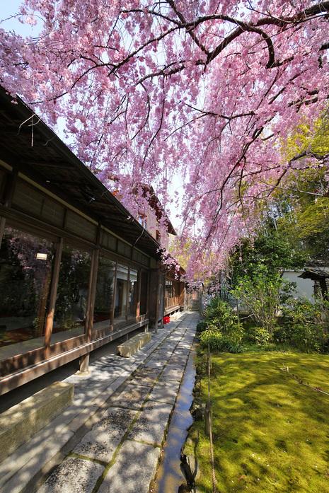 退蔵院さんの桜
