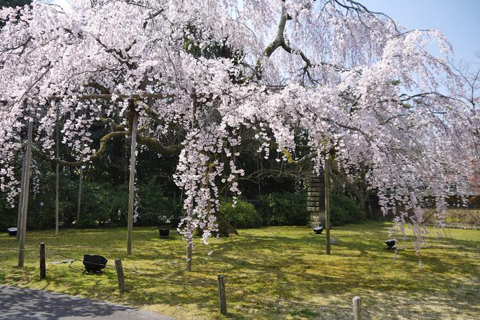 醍醐寺の桜写真