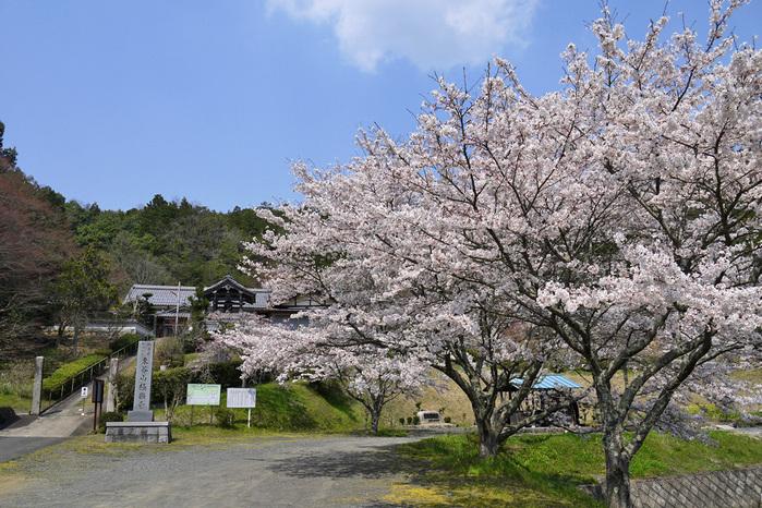 極楽寺(綾部市)の桜