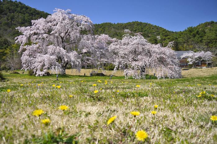京都 平安郷の桜