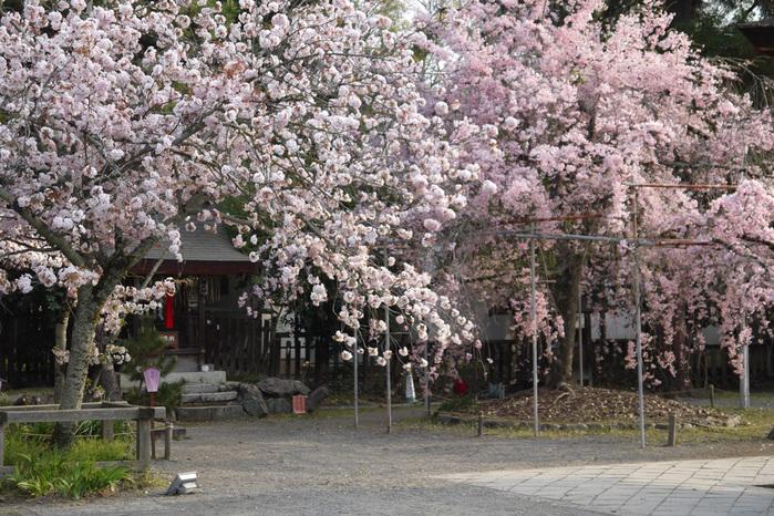 平野神社の桜写真