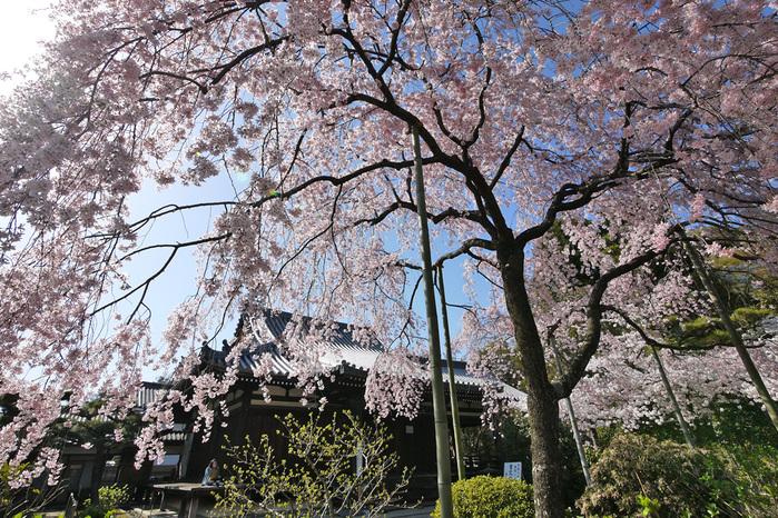 法金剛院の枝垂桜写真