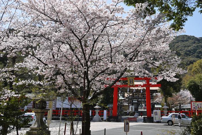 松尾大社の桜