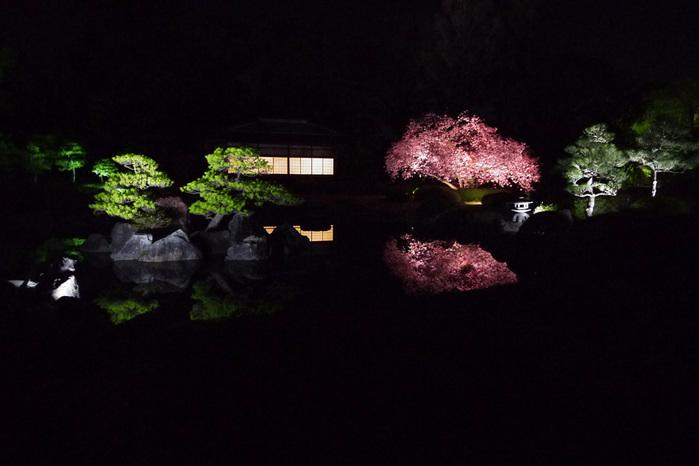 二条城の桜 ライトアップ