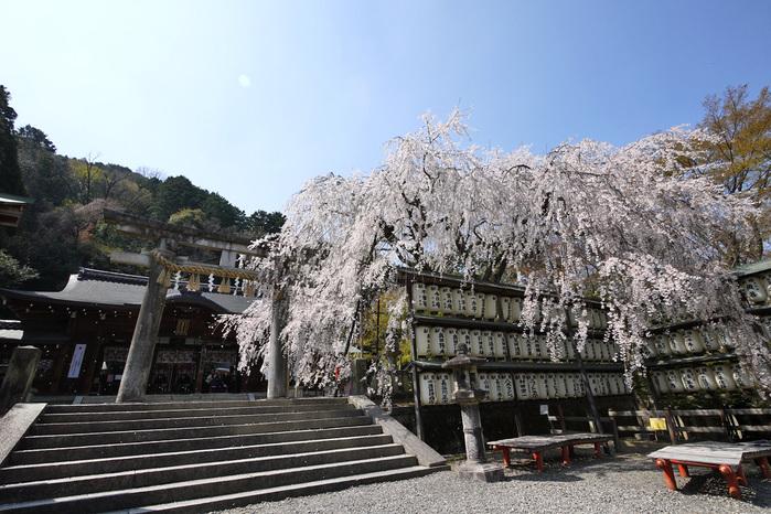 大石神社の枝垂桜
