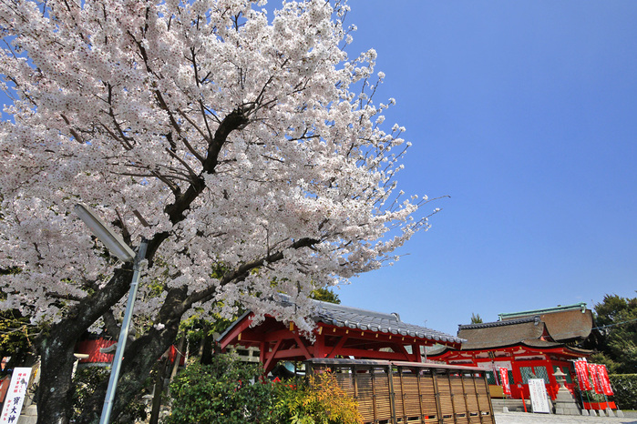 折上稲荷神社の桜