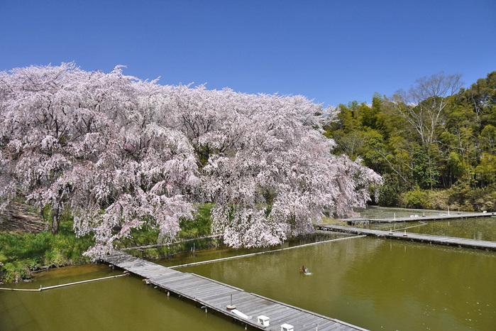 八幡市さくら近隣公園の桜