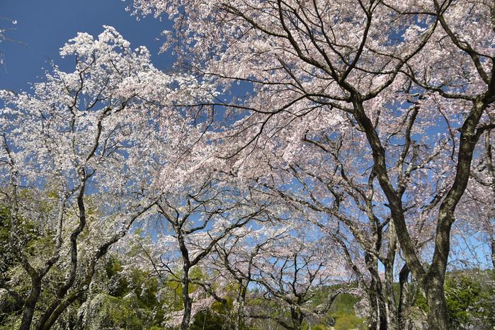 佐野藤右衛門邸の桜