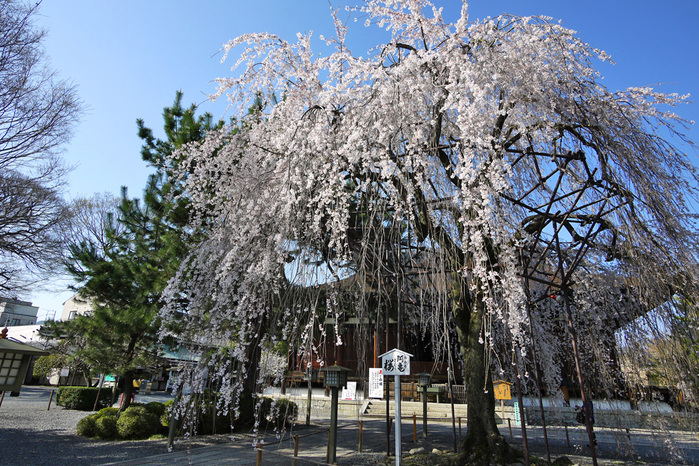 千本釈迦堂のおかめ桜