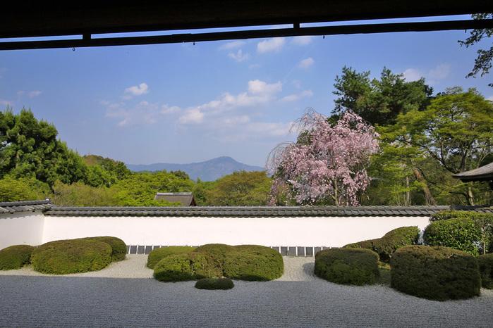 正伝寺の枯山水 桜