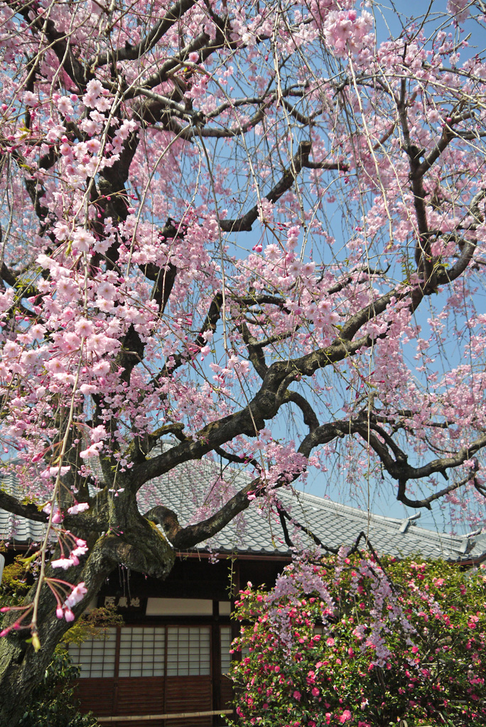 地蔵院椿寺の枝垂桜と五色八重散椿