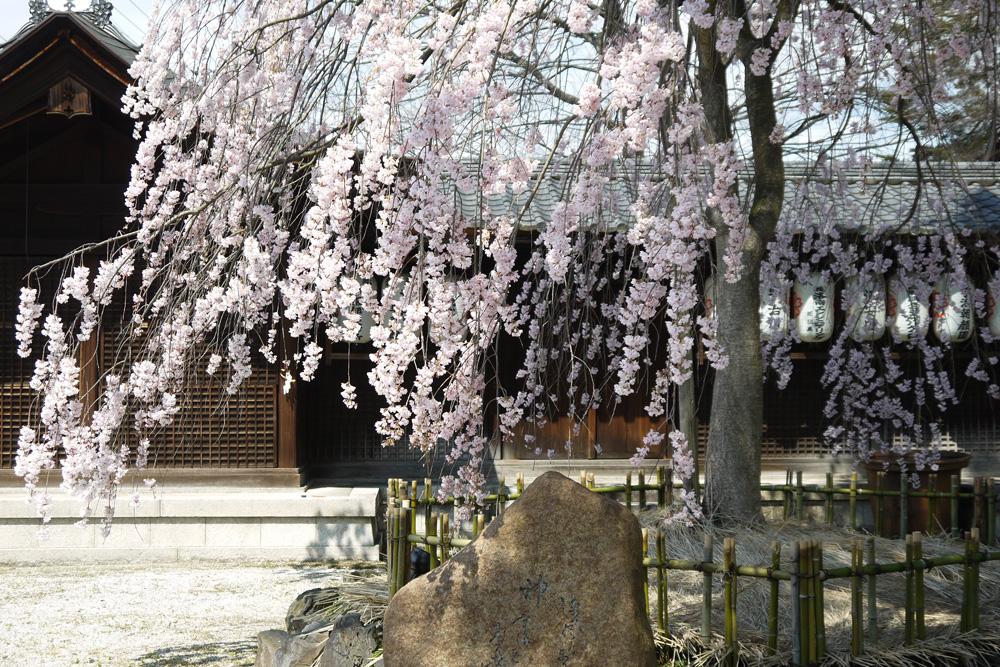 京都 縣神社の枝垂桜