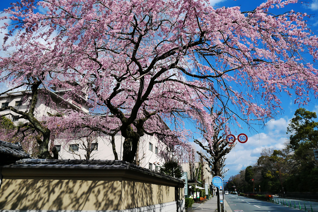旧有栖川宮邸の桜の写真素材