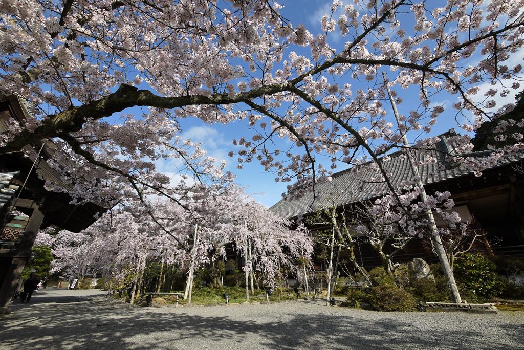 毘沙門堂の枝垂桜