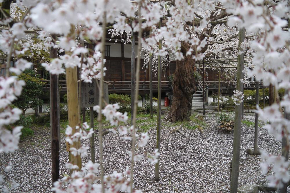 京都 毘沙門堂の桜