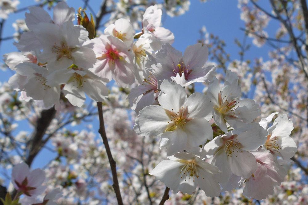 京都 墨染寺の桜