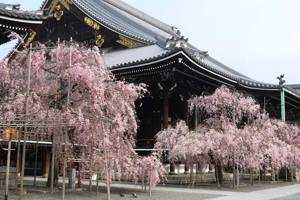 京都 佛光寺の桜