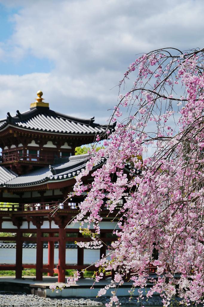 平等院の桜の写真素材