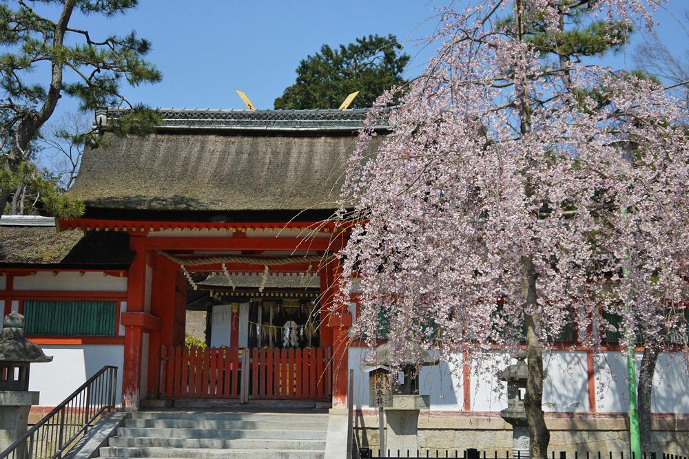 吉田神社大元宮 桜の写真素材