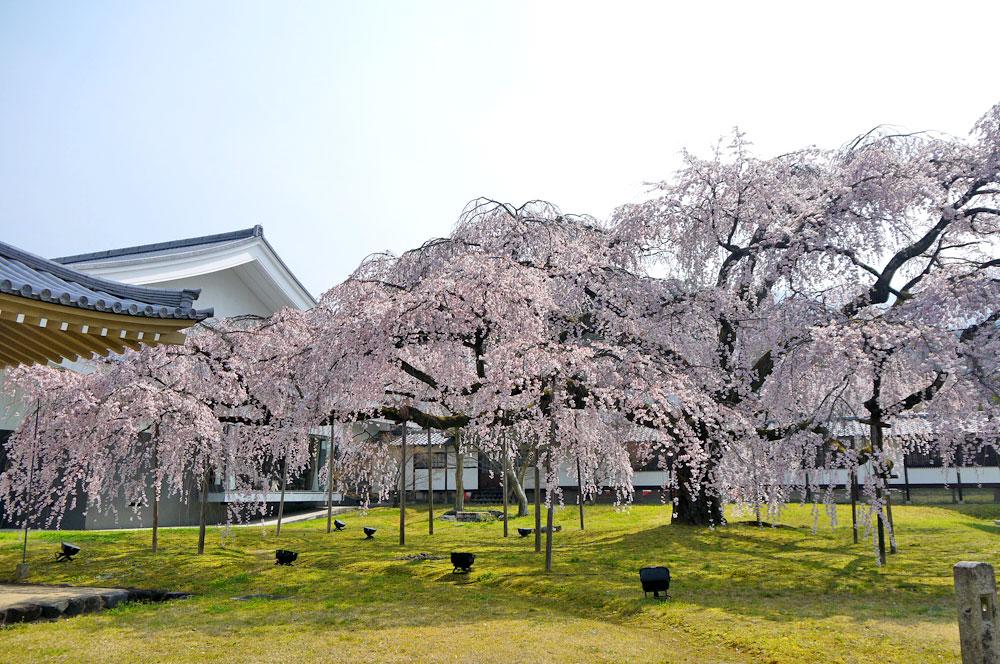 京都 醍醐寺霊宝館の桜
