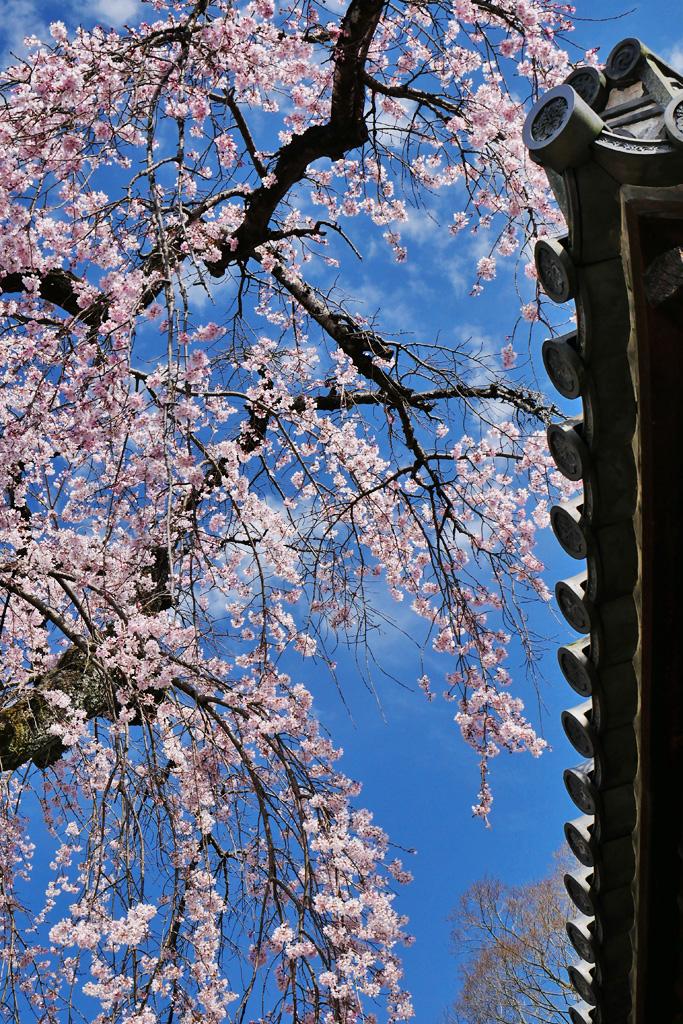 醍醐寺 報恩院の桜写真