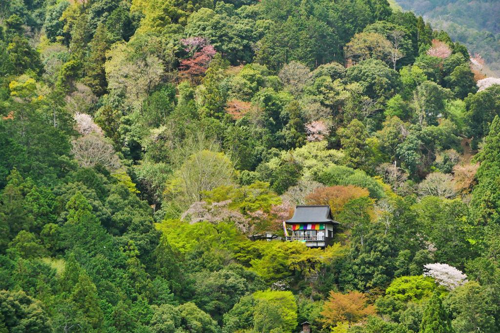 京都 大悲閣千光寺の桜