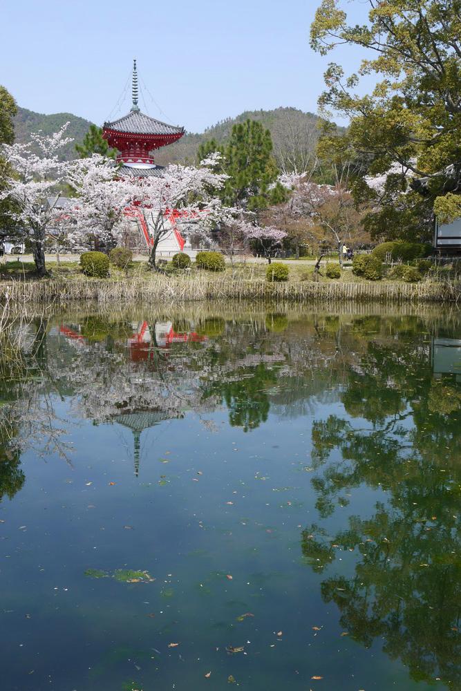 京都 大覚寺の桜