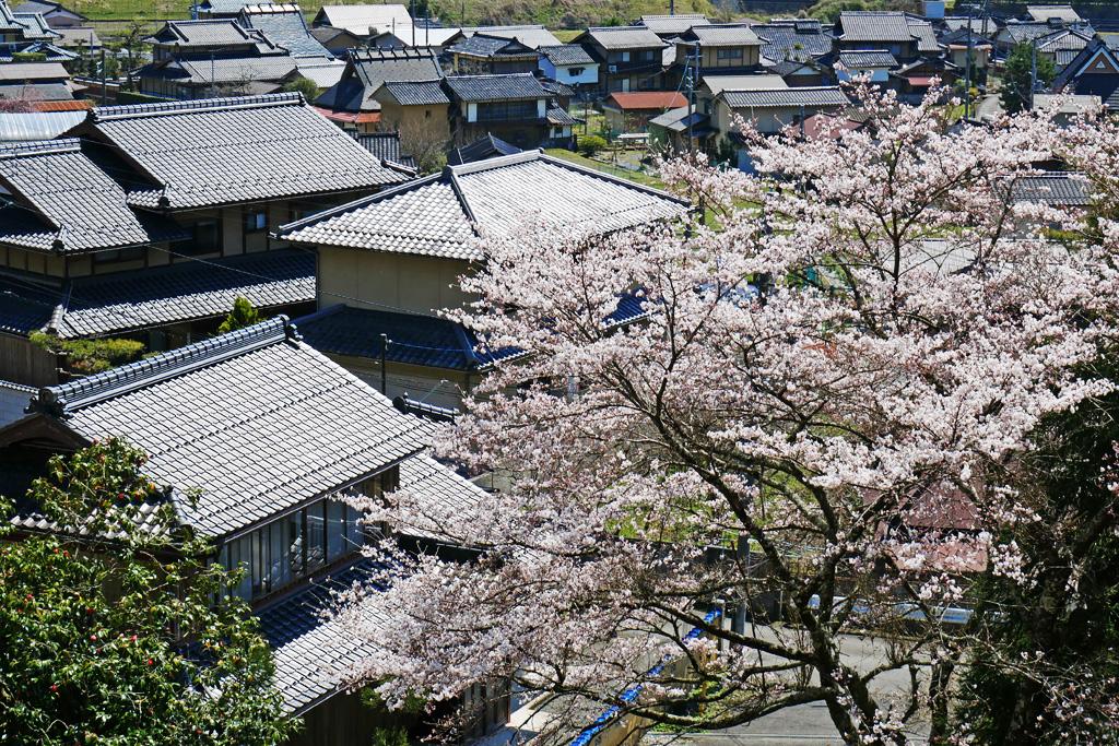 京都 大聖院 桜のフリー写真素材