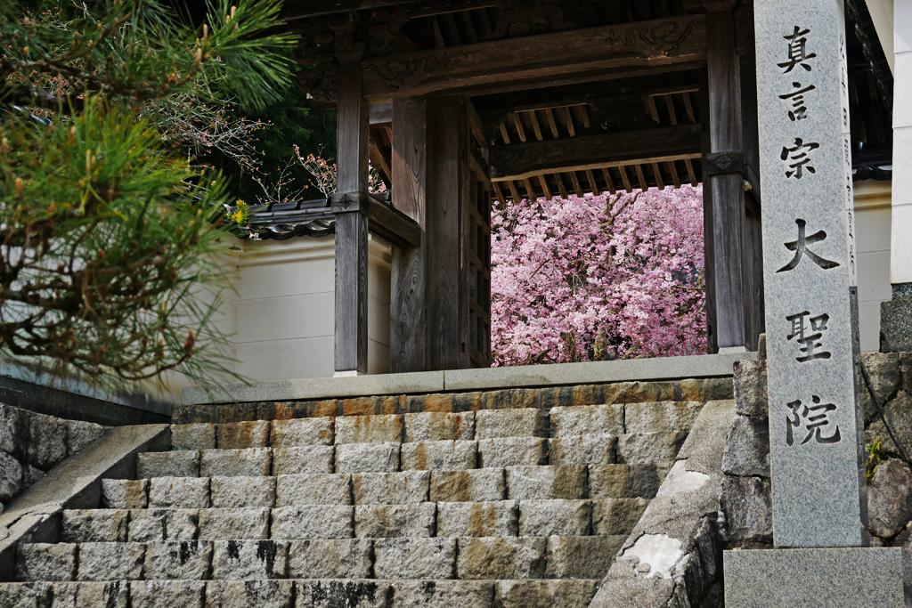 京北 大聖院の桜のフリー写真素材