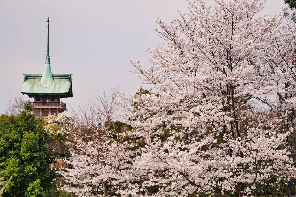 京都 大雲院の桜のフリー写真素材
