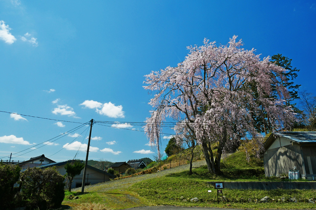 京北 弓削の出会い桜の写真素材