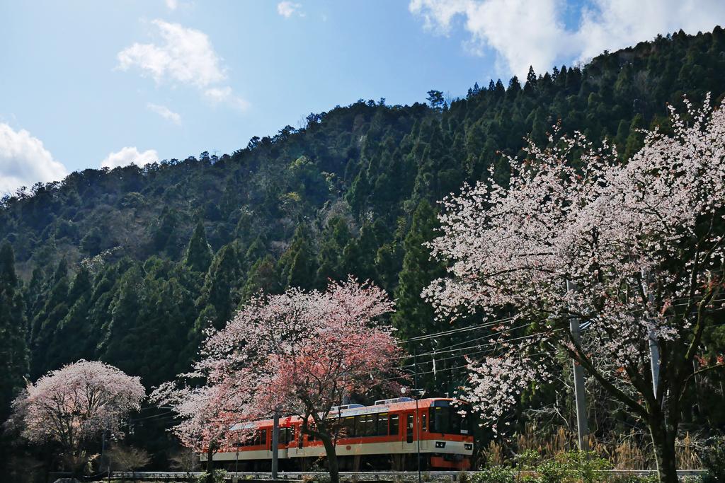 京都 叡電の桜のフリー写真素材