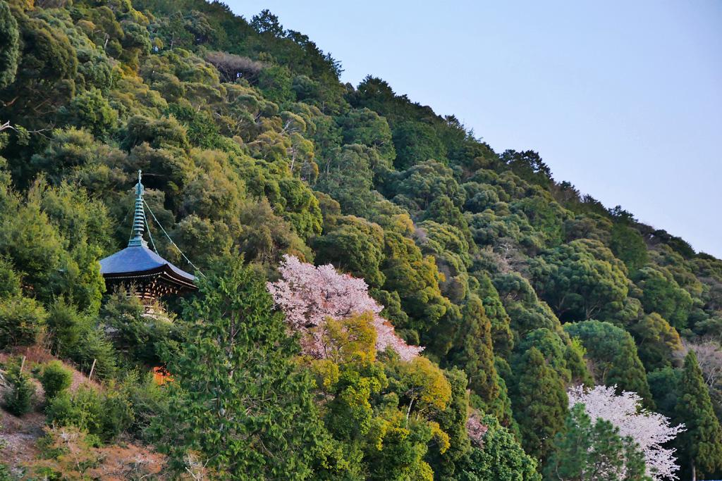 京都 永観堂の桜のフリー写真素材