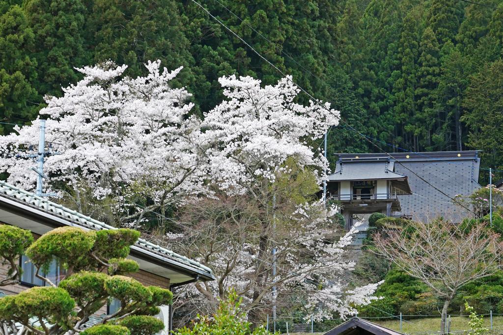 京北 永林寺の桜のフリー写真素材