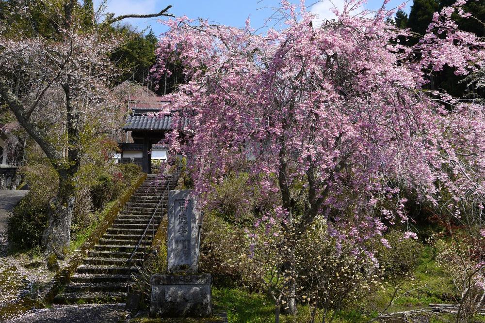 京都 福徳寺の桜の写真素材