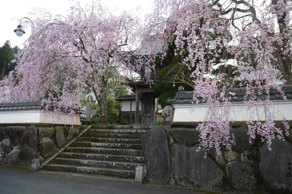 京都 普門寺の枝垂桜
