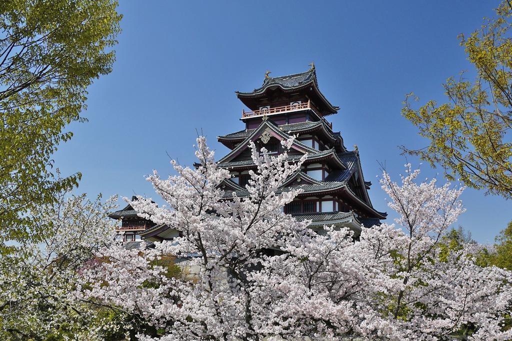 京都 伏見桃山城 桜のフリー写真素材