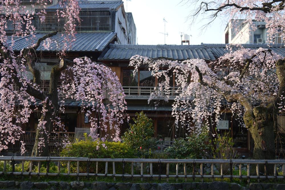 京都 祇園白川の枝垂桜