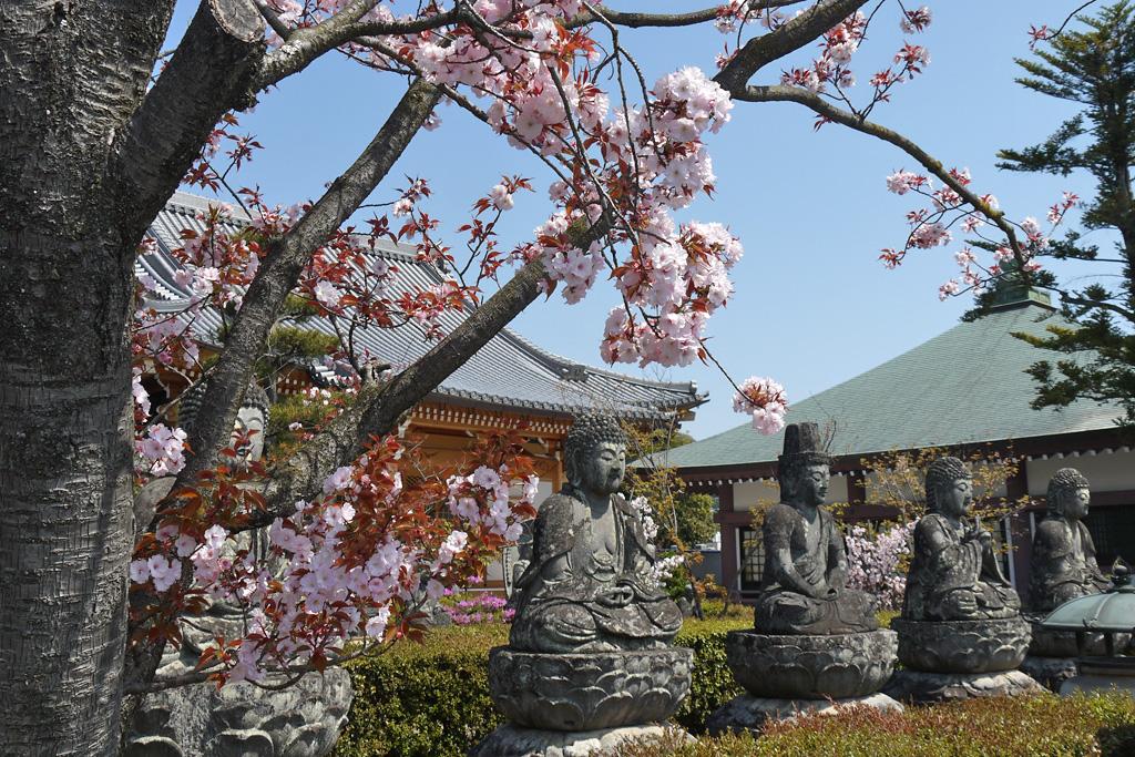 五智山蓮華寺の桜