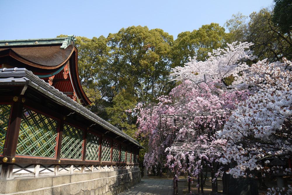 京都 御香宮神社の桜