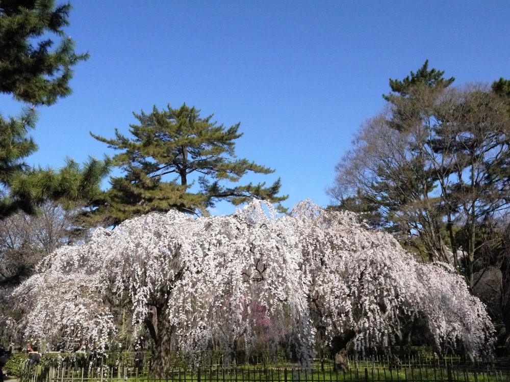 京都御苑の枝垂桜