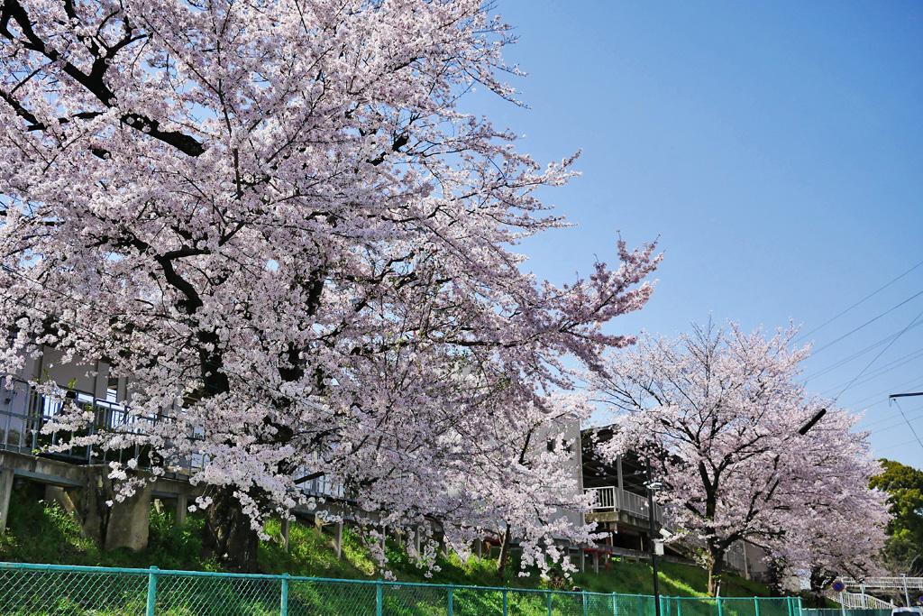 京都阪急電車と桜のフリー写真素材