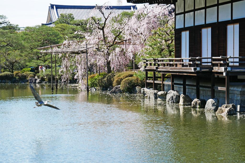 京都 平安神宮の桜の写真素材