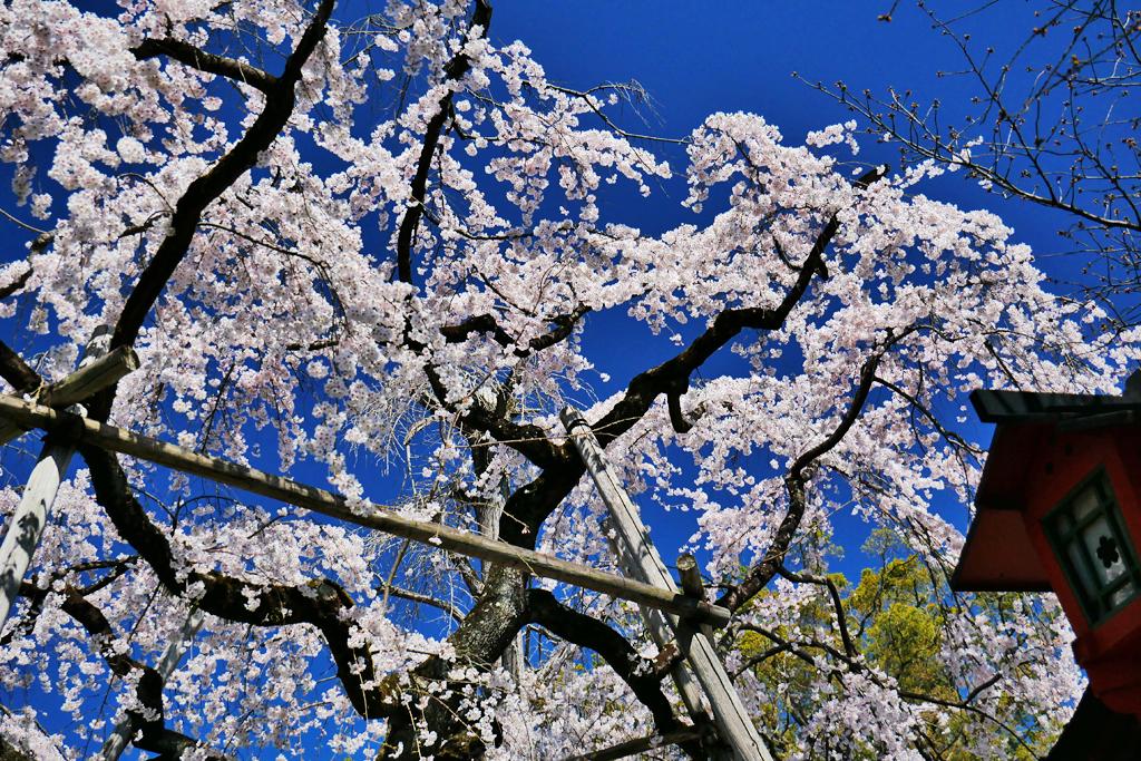 京都 平野神社の桜のフリー写真素材