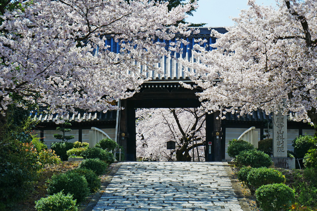 京都 本願寺山科別院の桜の写真素材