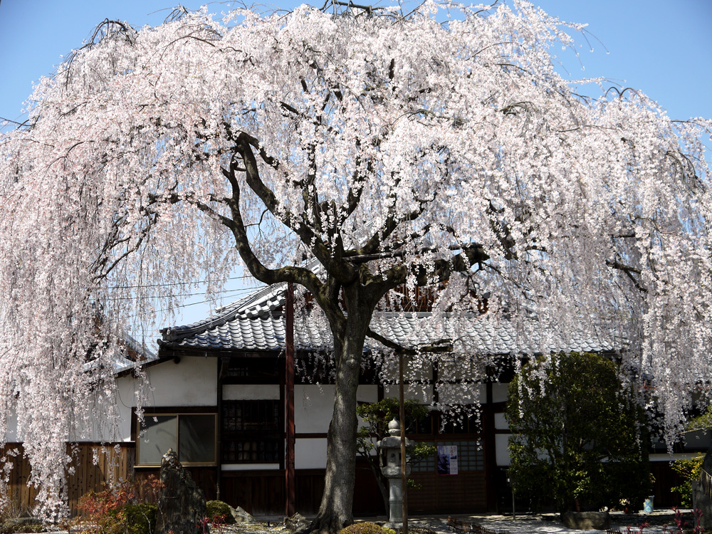 京都 本満寺の枝垂桜