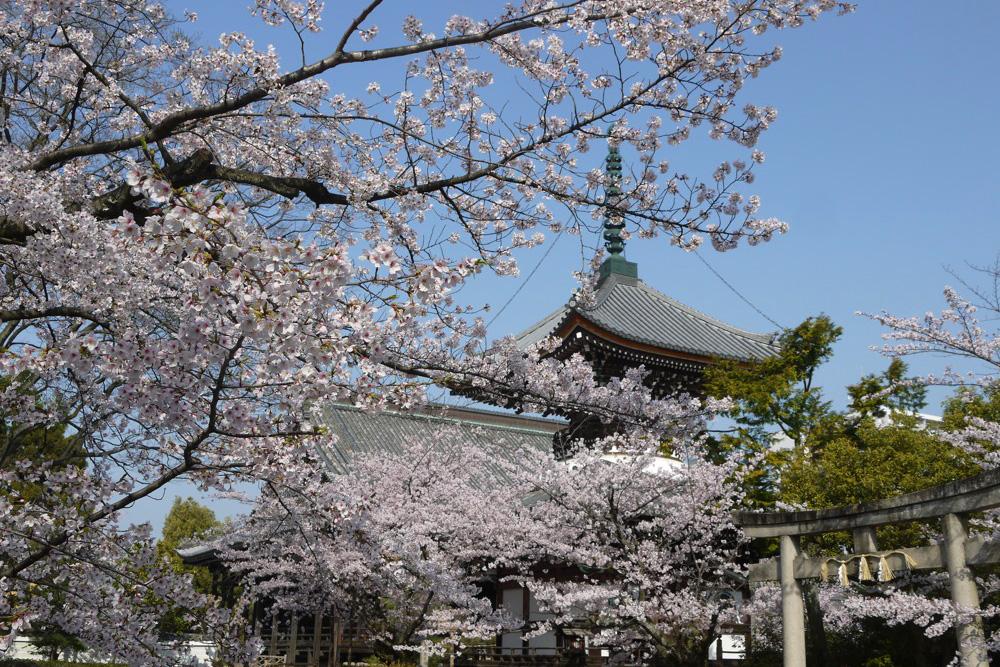 京都 本法寺の桜