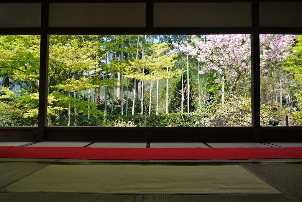 京都 宝泉院の桜